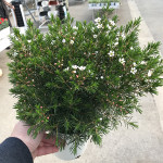 WAXFLOWER POT 14CM