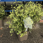 PITTOSPORUM TENUIFOLIUM GOLF BALL C