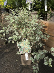 PITTOSPORUM C3L
