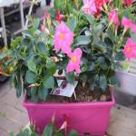 Dipladénia rose fuchsia - jardinière 40cm