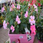 Dipladénia rose clair - jardinière 40cm