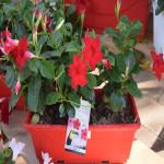 Dipladénia rouge - jardinière 40cm