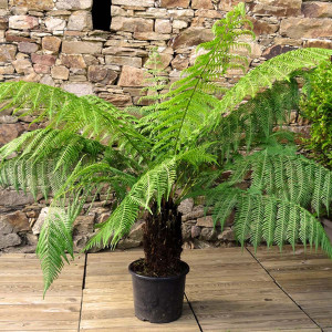 Fougère arborescente tronc 30/40 cm C15L